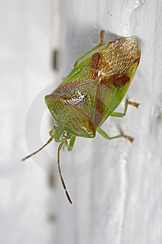 Red-crossed Stink Bug Royalty Free Stock Photos - Image: 5074138