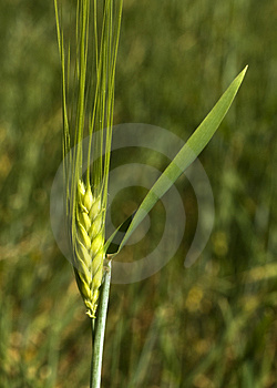 Ear Of Corn Stock Photo - Image: 5074580