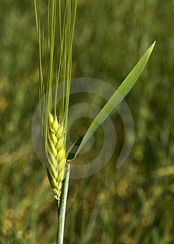 Ear Of Corn Stock Photo - Image: 5074580