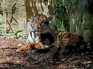 Τίγρη Στοκ Φωτογραφίες - εικόνα: 5097223