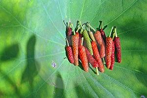 Piper Retrofractum Stock Images - Image: 5104384