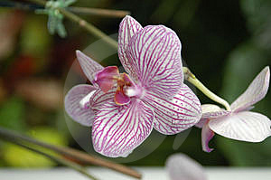 Striped Orchids Stock Image - Image: 5115691