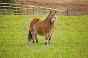 English Pony In A Field Royalty Free Stock Image - Image: 5117846