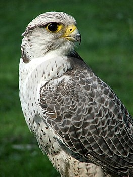 Bird Of Prey Stock Images - Image: 5121304