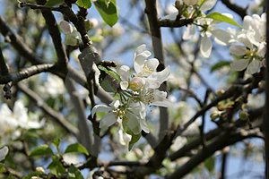 Apple Blossom Royalty Free Stock Images - Image: 5123699