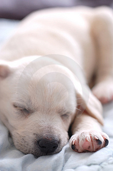 Sleeping Labrador puppy Stock Image