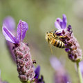 Honey Bee and Lavender Stock Photography