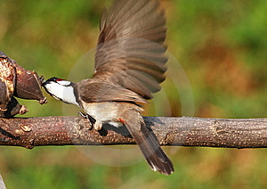 Bird Feeding On Tree Branch. 59-19 Jpg Royalty Free Stock Photos - Image: 5146438
