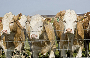 Cows Royalty Free Stock Photos - Image: 5152698