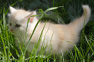 White kitten in grass Royalty Free Stock Images