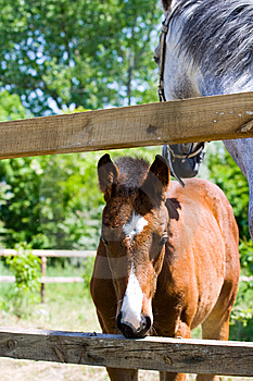 Baby Horse Royalty Free Stock Photo