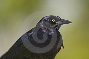 Great-tailed Grackle Displaying Stock Photos - Image: 5189233