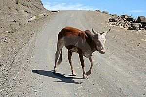Dirt Road Cow Stock Photo - Image: 5192070