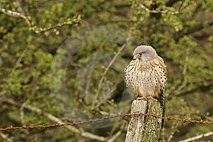 Bird Of Prey Royalty Free Stock Photos - Image: 5197178