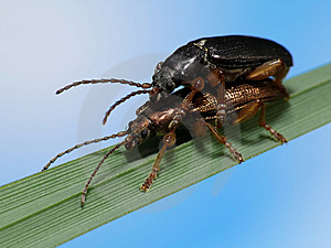 Beetles In Love Royalty Free Stock Photos - Image: 5199298