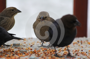 Birds Eating Limited Depth Royalty Free Stock Image - Image: 522066