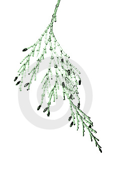 Closeup Of Cedar Branch Abstract Royalty Free Stock Photos - Image: 5202098