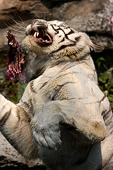White Tiger Leaping For Food Royalty Free Stock Photography - Image: 5202337