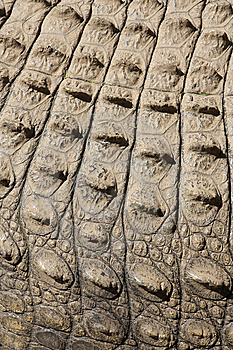 Croc Skin Royalty Free Stock Photos - Image: 5212948