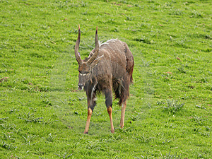 Male Nyala Antelope Stock Photography - Image: 5220632