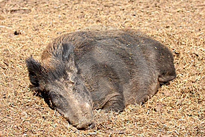 Wild Boar Royalty Free Stock Photos - Image: 5222818