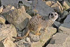 Meerkat (mammal) Stock Photography - Image: 5226432