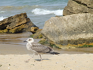Seagull On The Beach Royalty Free Stock Photo - Image: 5237125