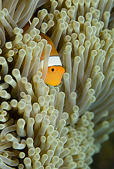Clown Fish Royalty Free Stock Photography - Image: 5246057