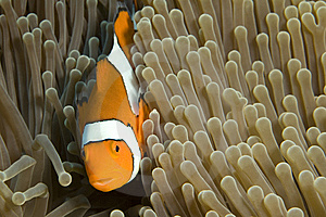 Clown Fish Stock Images - Image: 5246084