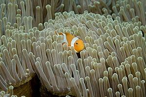 Clown Fish Stock Photo - Image: 5246130