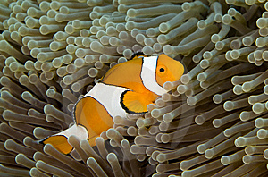 Clown Fish Royalty Free Stock Photos - Image: 5246378