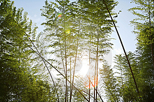 Sunlight Through Bamboos Royalty Free Stock Photo - Image: 5247145