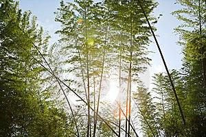 Sunlight Through Bamboos Royalty Free Stock Photo - Image: 5247145