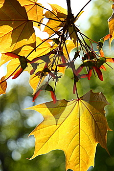 Autumn Maple Leaves Stock Photo - Image: 5249910