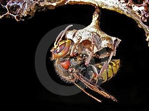 Hornet (Vespa Crabro) At A Nest. Stock Photos - Image: 5256703
