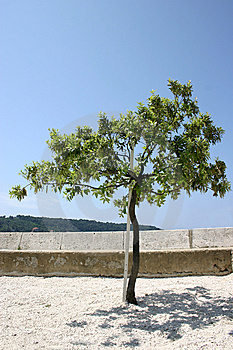 Olive Tree Royalty Free Stock Image - Image: 5266236