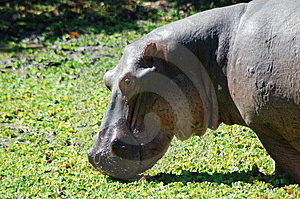 Hippopotamus Royalty Free Stock Images - Image: 5266299