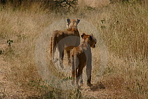 Lions On Alert Royalty Free Stock Image - Image: 5269626