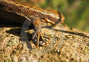 Forefoot Of Lizard Stock Photo - Image: 5275050