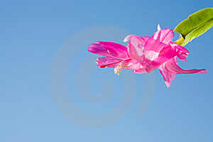 Schlumbergera Truncata. Stock Photos - Image: 5278523