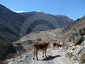Mountain Cows Stock Images - Image: 5279574