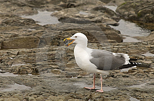 Seagull Eating A Mussel Royalty Free Stock Photos - Image: 5283068