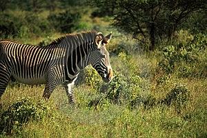 Zebra Walking Through The Grass Royalty Free Stock Image - Image: 5284936