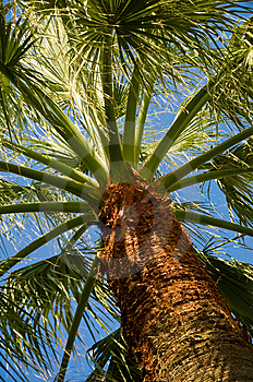 Palm Tree Stock Image - Image: 5295551