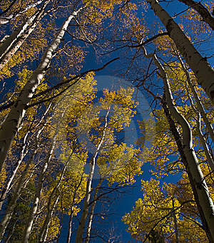 Under Aspens Stock Image - Image: 5297201