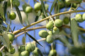 Fresh olive Stock Photo