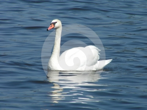Swan Free Stock Image