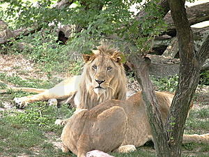 Couples De Lion Photos libres de droits - Image: 5300938