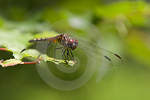 Dragonfly At Rest Royalty Free Stock Photo - Image: 5301595