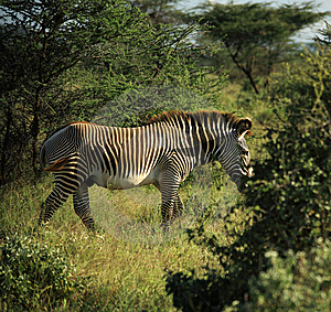 Zebra Walking Through The Trees Stock Images - Image: 5304194